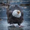 Eagle Action 10/24/16 - 7
