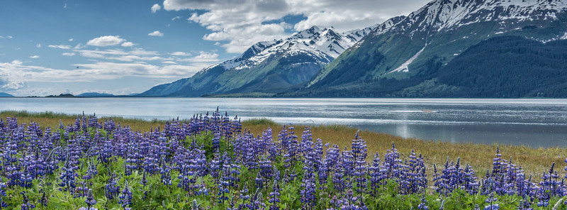 Lupines along the Chilkat River