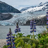 Lupines and Mendenhall Glacier