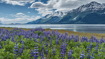 lupines along the Chilkat River - Large