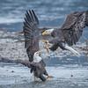 Eagle Action 10/24/16 - 4