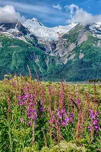 Fireweed bloom in Chilkat State Park