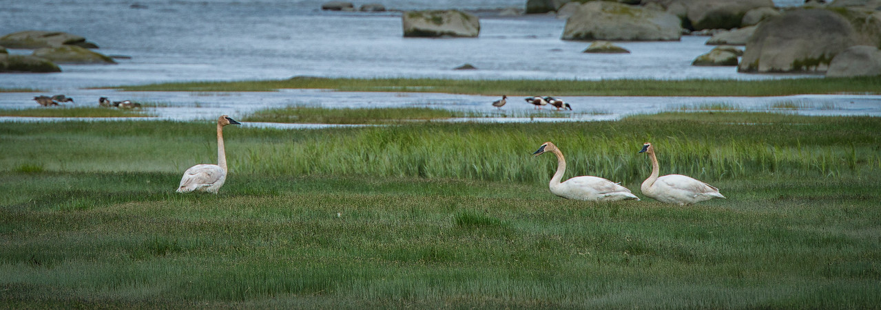 Trumpeter Swans on Chilkat River