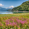 Fireweed in Chilkat State Park