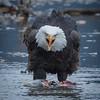Eagle Action 10/24/16 - 6