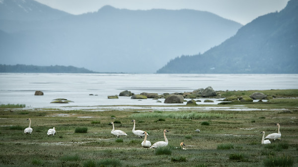 "A herd (aka ""whiteness"") of trumpeter swans have begun collecting on the wetlands of the Chilkat River just south and west of Haines. Counted 11 in this herd ... too many to fit in the foto."