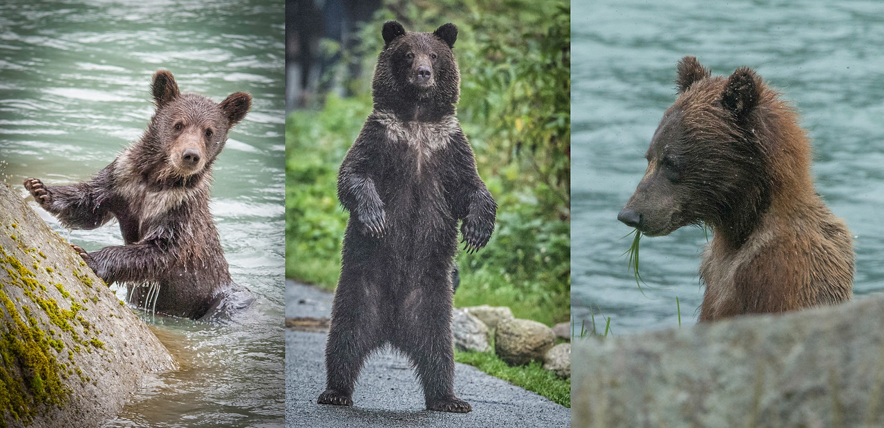 From left to right: 2015, 2016, 2017. The first two are definitely the same cub. Is the 2017 photo the same cub? The natal collar has me thinking so.