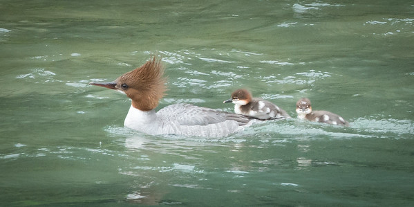 "God could not be everywhere, so he created Mothers."" -Rudyard Kipling A mother Common Mergansers gives her newly hatched chicks a lift along the Chilkoot River; Haines, Alaska"