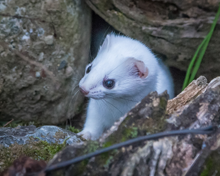 peek-a-boo ermine ,,, winter is coming