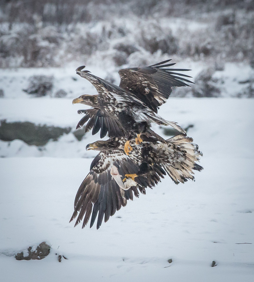 Our last full day in Alaska this season, and the first day of real snow in Haines. Such a gift. The prize in this shot is the piece of intestine the lower eagle is carrying from a nearby bear carcass. What action this day!