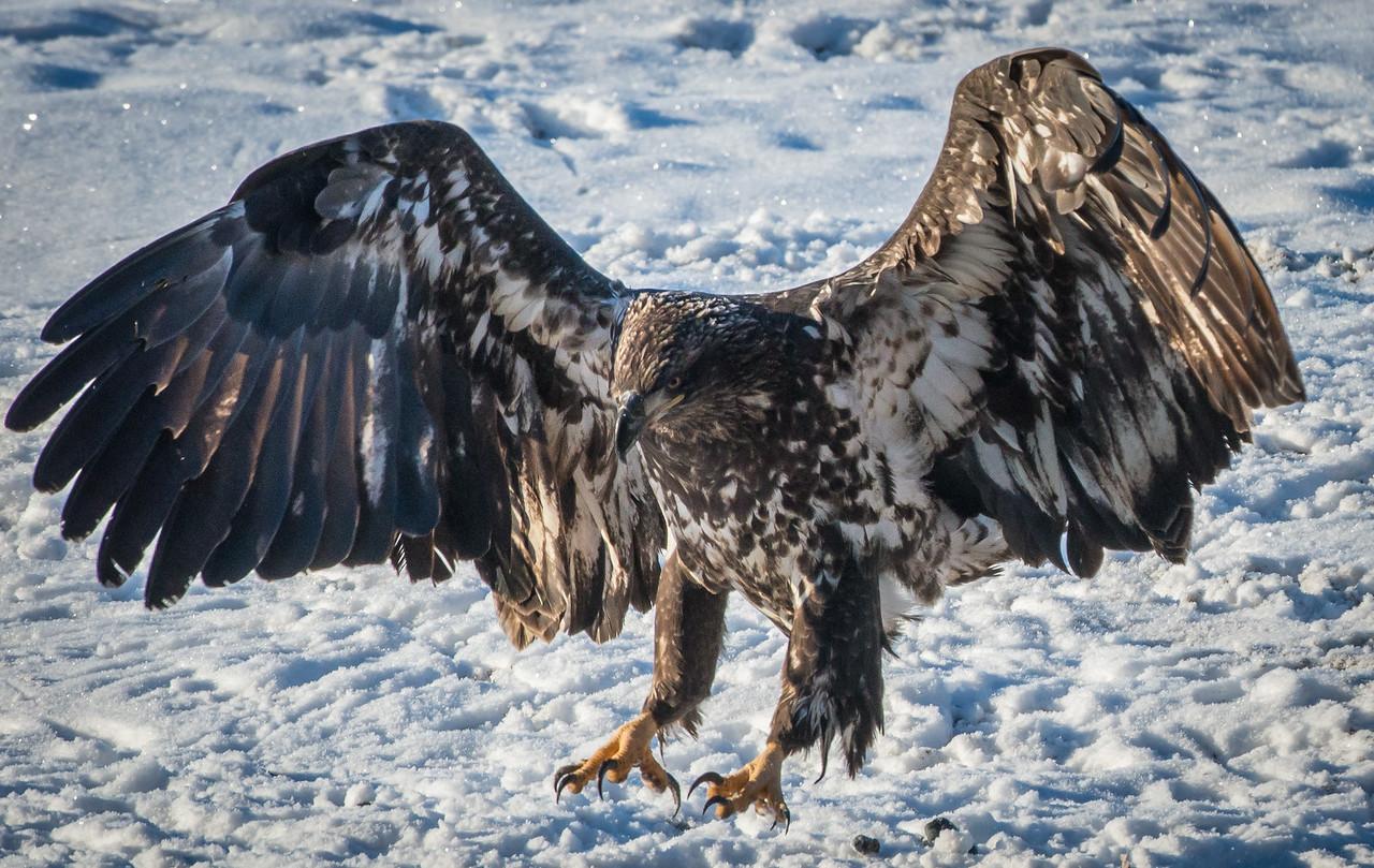 Alaska Chilkat Bald Eagle Preserve; Haines, Alaska. Every day is a reward.