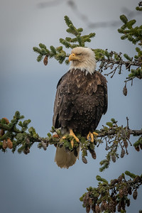 A lot of eagle activity in front of our house this morning at low tide. This scoundrel landed to a perch near the deck.
