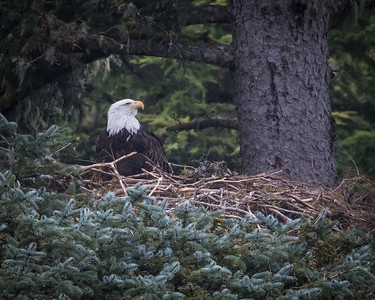 Pretty exciting day. First day up the Chilkoot River with the good company of Tracy Spring, and saw mama eagle sitting in the nest across from the Chilkoot Lodge. Did not expect to see this so early, and a welcome opportunity to try out the new D850.