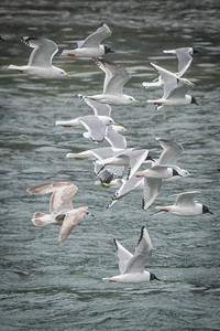 Gulls gone wild: mew, glaucous and bonaparte's. Who's Who @ the Zoo.