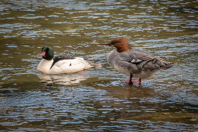 Common mergansers. The happy couple is out and about, Dad dressed up in his seasonal fancies for a night out on the Left Banke.