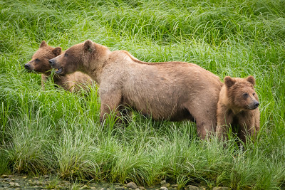 Speedy and some cubs feeding on sedge grass in the spring.