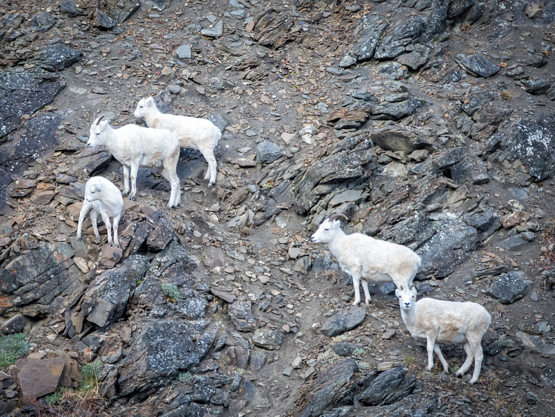 The preservation of Dall Sheep was the motivation behind the establishment of Denali as a park.