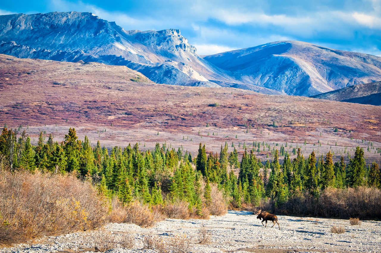 Waldo Moose, homeward bound.  I think I like these habitat shots better than the close ups. There is a story here.