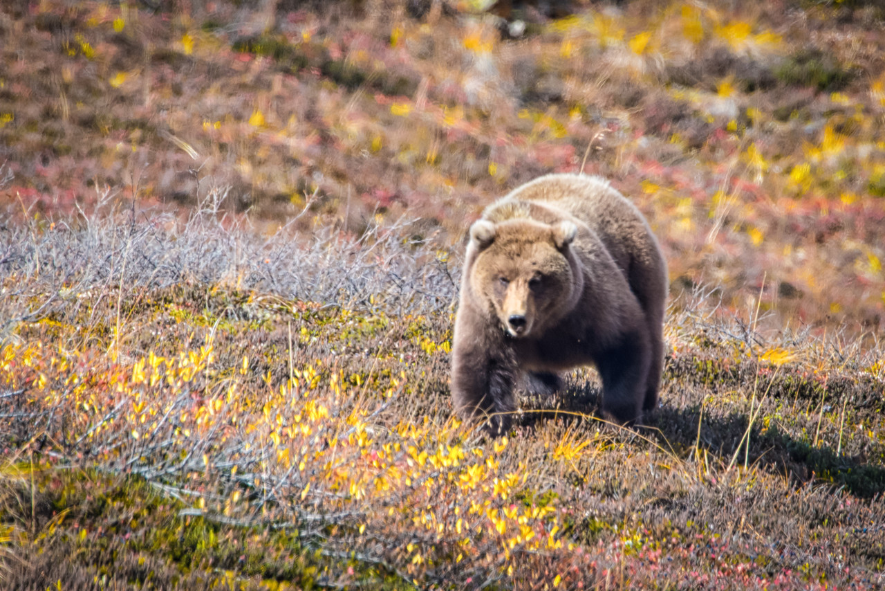 According to the literature, coastal brown bears are supposedly bigger than grizzlie due to better food sources, but I have never seen that to be necessarily true. This fellow, and others we saw were pretty well stocked and stacked on blueberries.