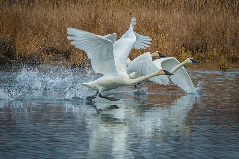 It was a real treat to come along these trumpeter swans in a pond not far off the road. They watched us for a while, and then decided to take off, which is just what I was hoping for.
