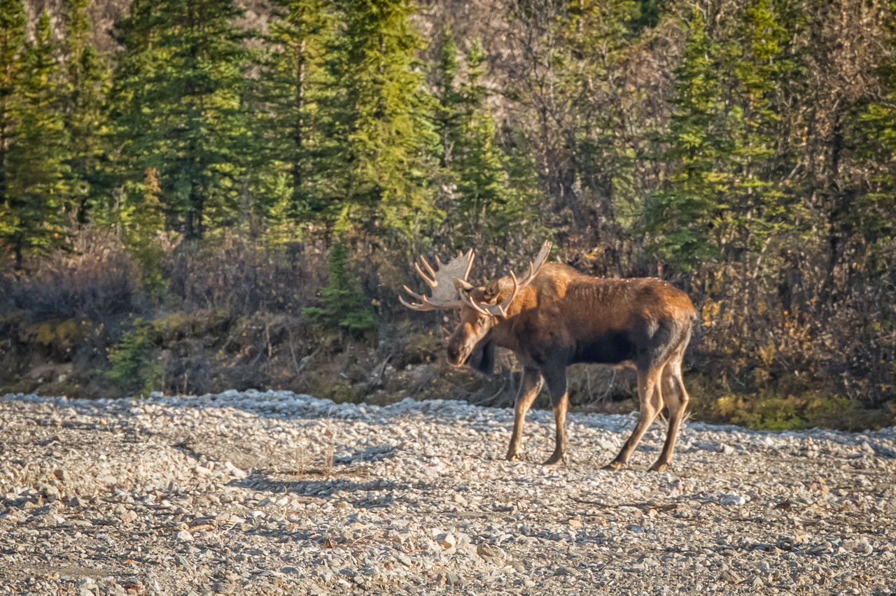 A grand bull has gotten  everyone's attention. It is not hard to spot moose. Just look for the dozens of cars pulled off to the side of the road, or maybe just stopped in the road like there is no one else but them.