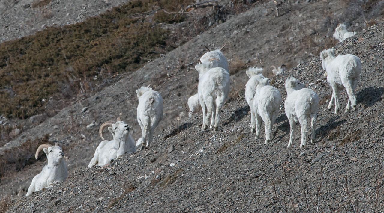Dall sheep; ewes and lambs and rams.