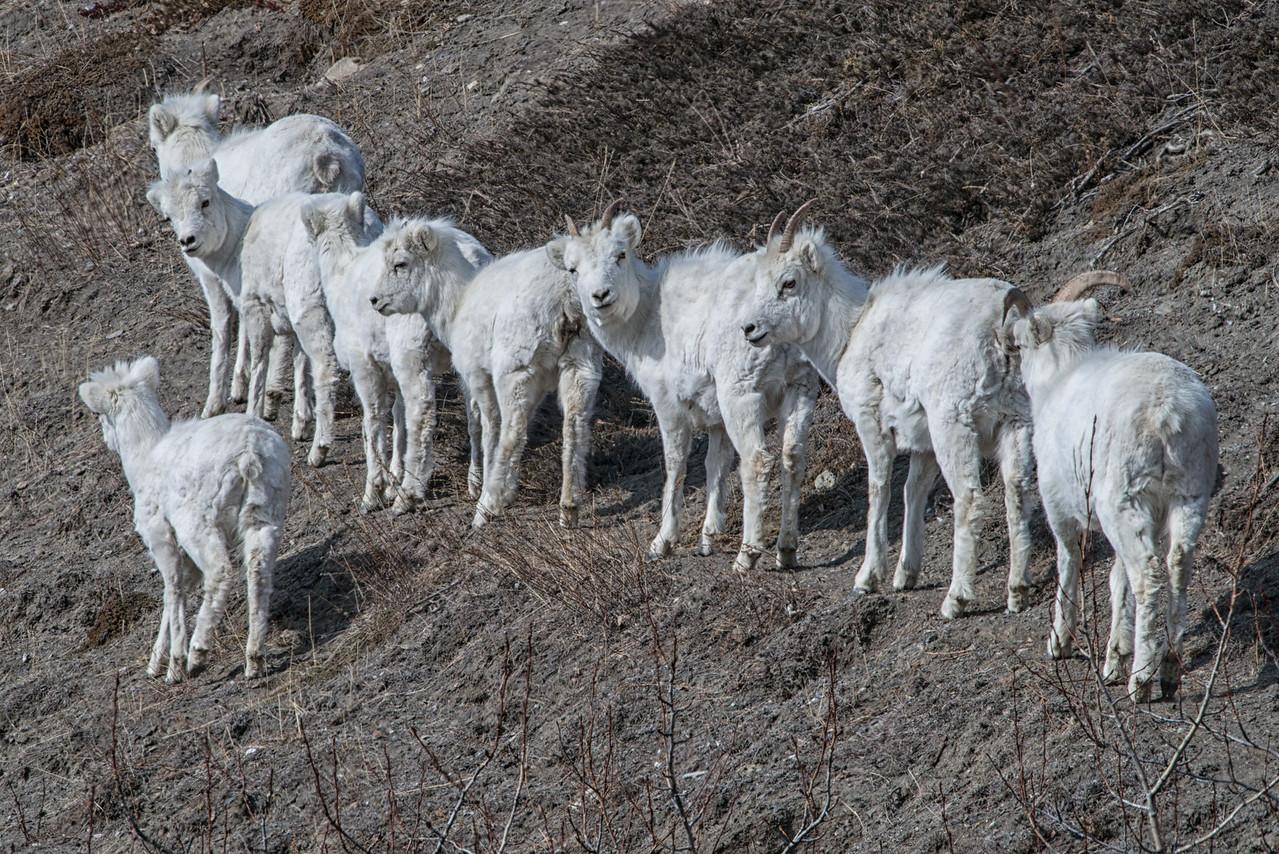 Dall sheep; ewes and lambs.