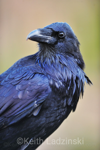 A tight detailed frame of a black raven looking out into the distance in Yellowstone National Park, Wyoming.