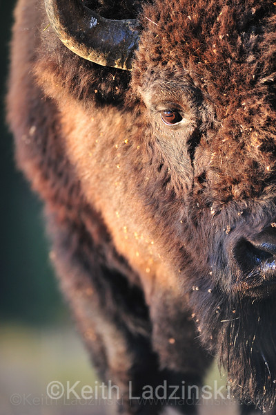 A close up detail photo of a large bison in Yellowstone National Park in Wyoming.