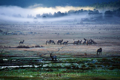 A heard of elk grazing in a misty meadow in Rocky Mountain national Park, Colorado.