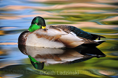 A male Mallard duck sleeping with it's beak in his feathers on a cold morning at sunrise.