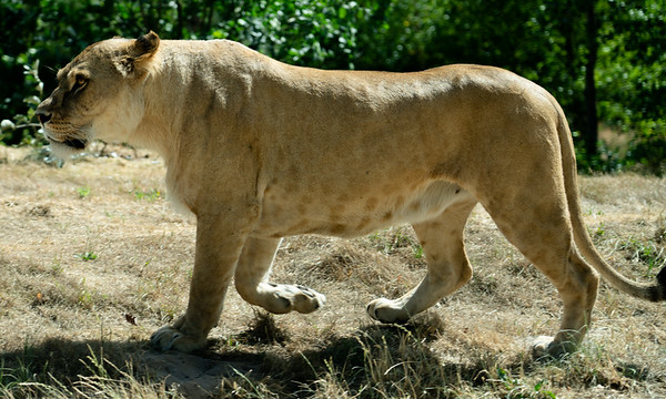 Lioness at Givskud Zoo