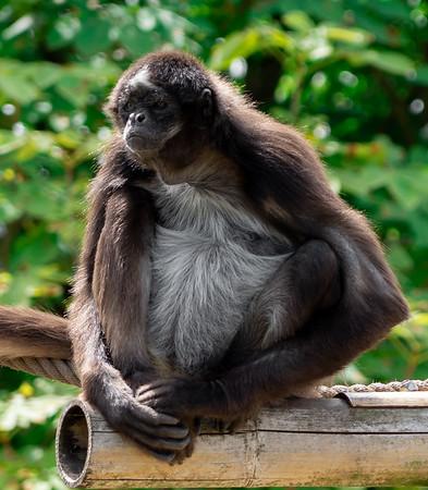 Monkey at Gidskud Zoo