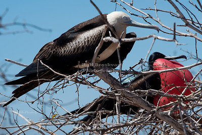 Frigate Birds on Seymour Island