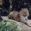 Crouching Leopard, Hidden Panther