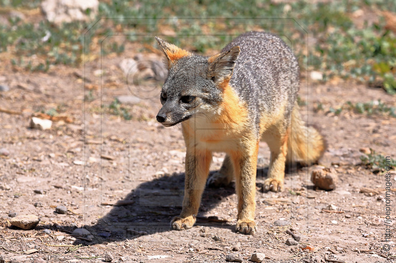 Island Fox at Scorpion Ranch, Santa Cruz Island