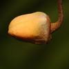 SAJ0777 Haplostichanthus longirostris