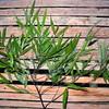 SAJ0858 Haplostichanthus longirostris