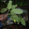SAJ0054 Lepiniopsis ternatensis