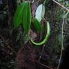 SAJ0181 Hoya flavescens