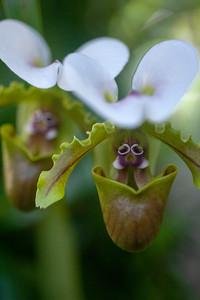 Lady Slipper Orchid (Genus Paphiopedilum)