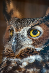 Great Horned Owl (?)