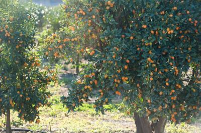 Looks like Kumquat