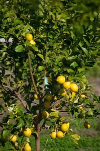 Lemon Tree, Very Pretty