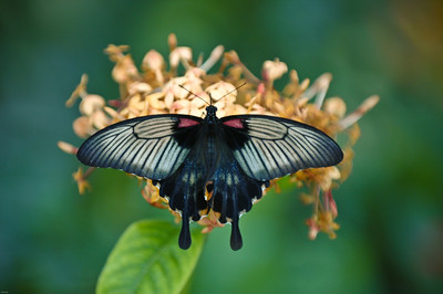 Butterfly (probably a Great Mormon, Papilio memnon) on Ixora Flower