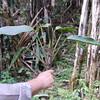 Conn5499 Rhaphidophora
