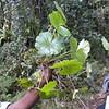 Conn5420 Hydrocotyle javanica