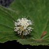 Conn5459 Hydrocotyle javanica