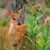 Shenandoah Park Virginia Whitetail Fawn with Milkweed