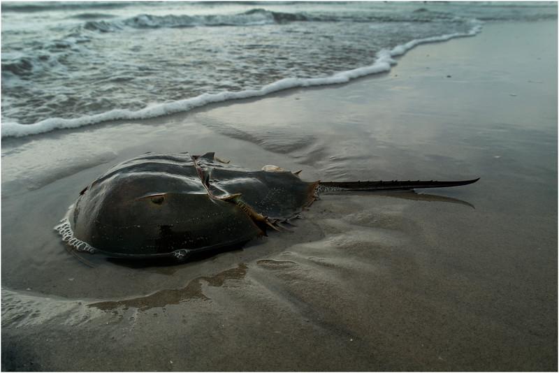 Avalon NJ Horseshoe Crab July 2014